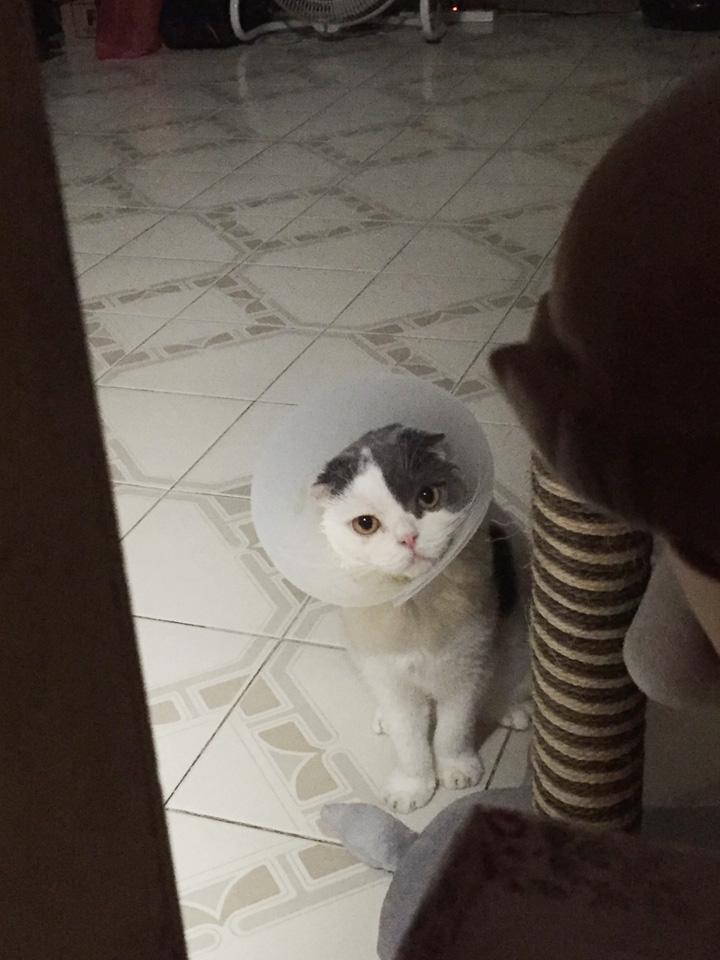 แมวรำคาญตอนใส่คอลล่า