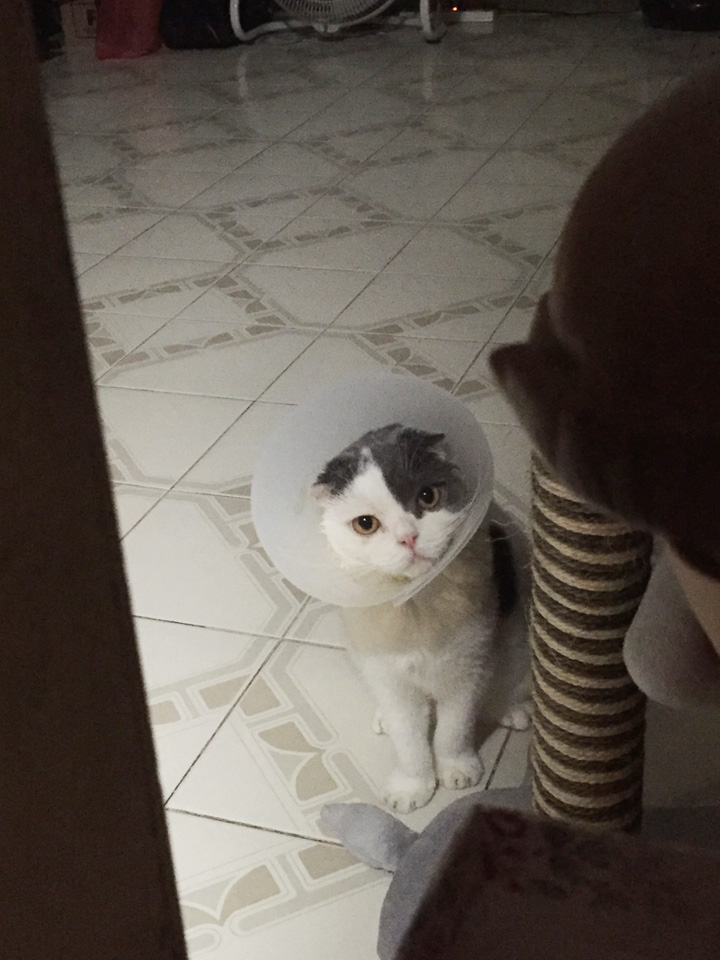 แมวใส่มงกุฏ มงลงแมว