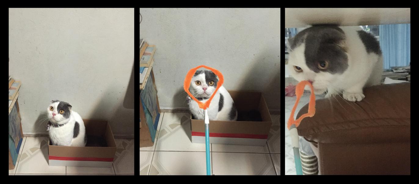 แมวหน้าเฉย แมวโกเมส แมวหูพับ