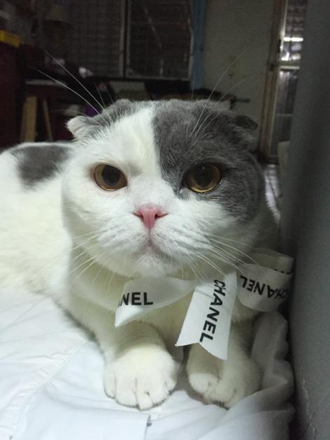 Gomezcat with Chanel ribbon