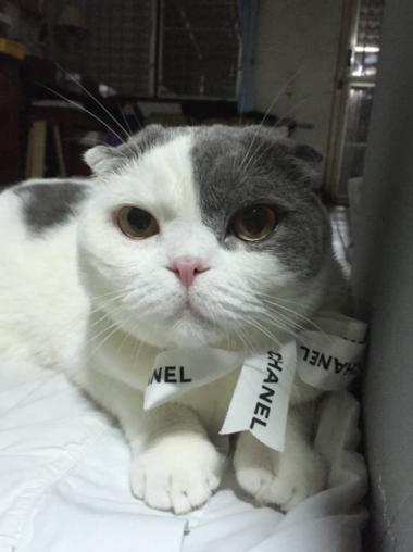 Chanel Cat