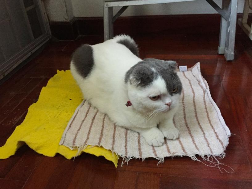 แมวเป็นหวัดง่าย