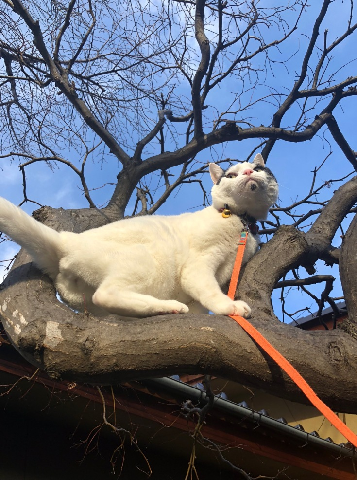 Japanese cat is now featured in #Catclubguest