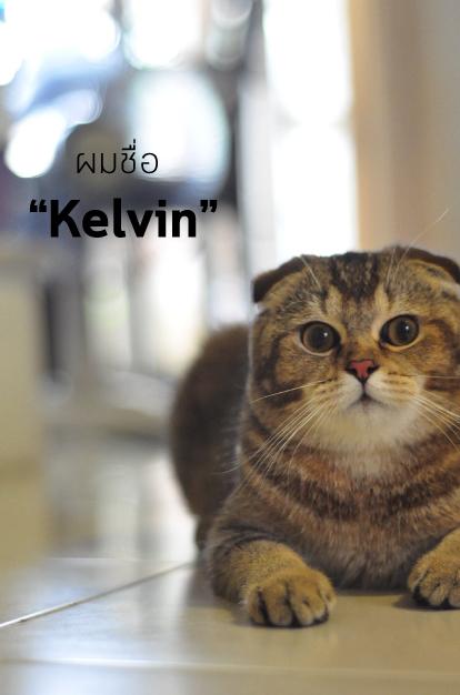 แมวสก็อตติชโฟลด์ติดตุ๊กตาใน Catclubguest
