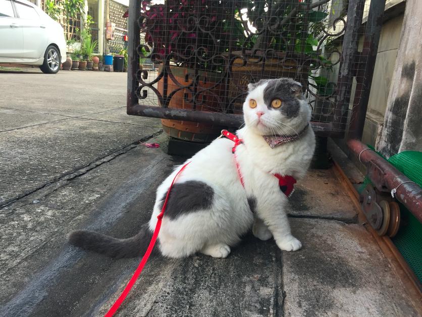 Cat Leash _Gomez_Catclub