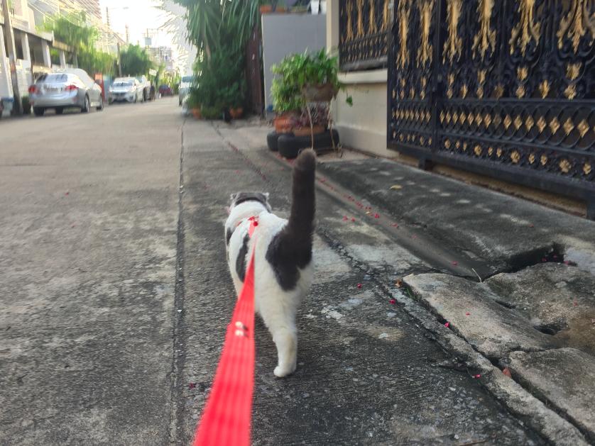Cat Leash2__Gomezcat_Catclub