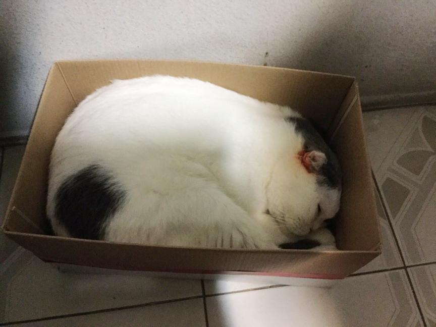 แมวชอบนอนในกล่อง