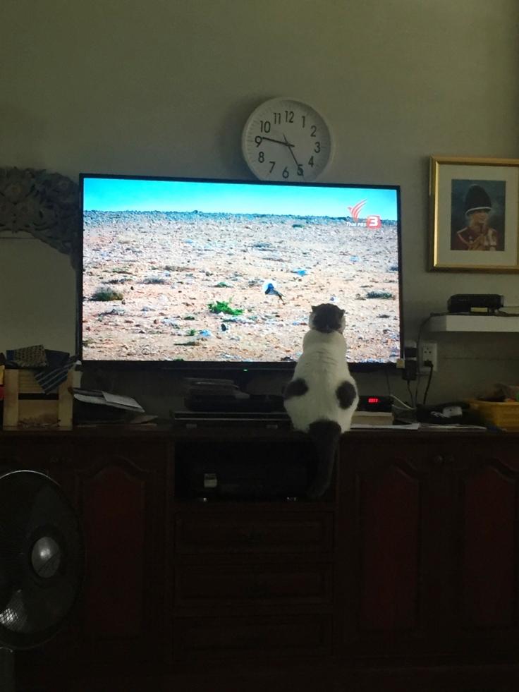 โกเมสแมวคุณชายนั่งดูทีวีคนเดียว