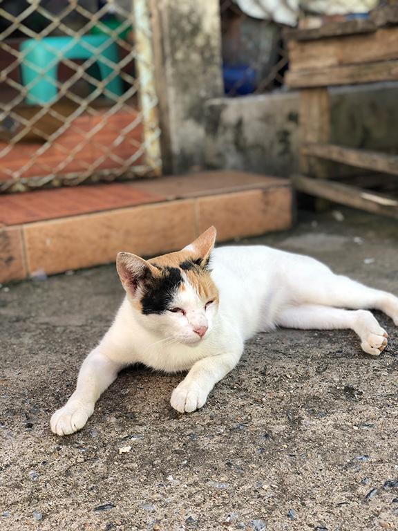 แมวสามสีที่สีขาวเยอะ