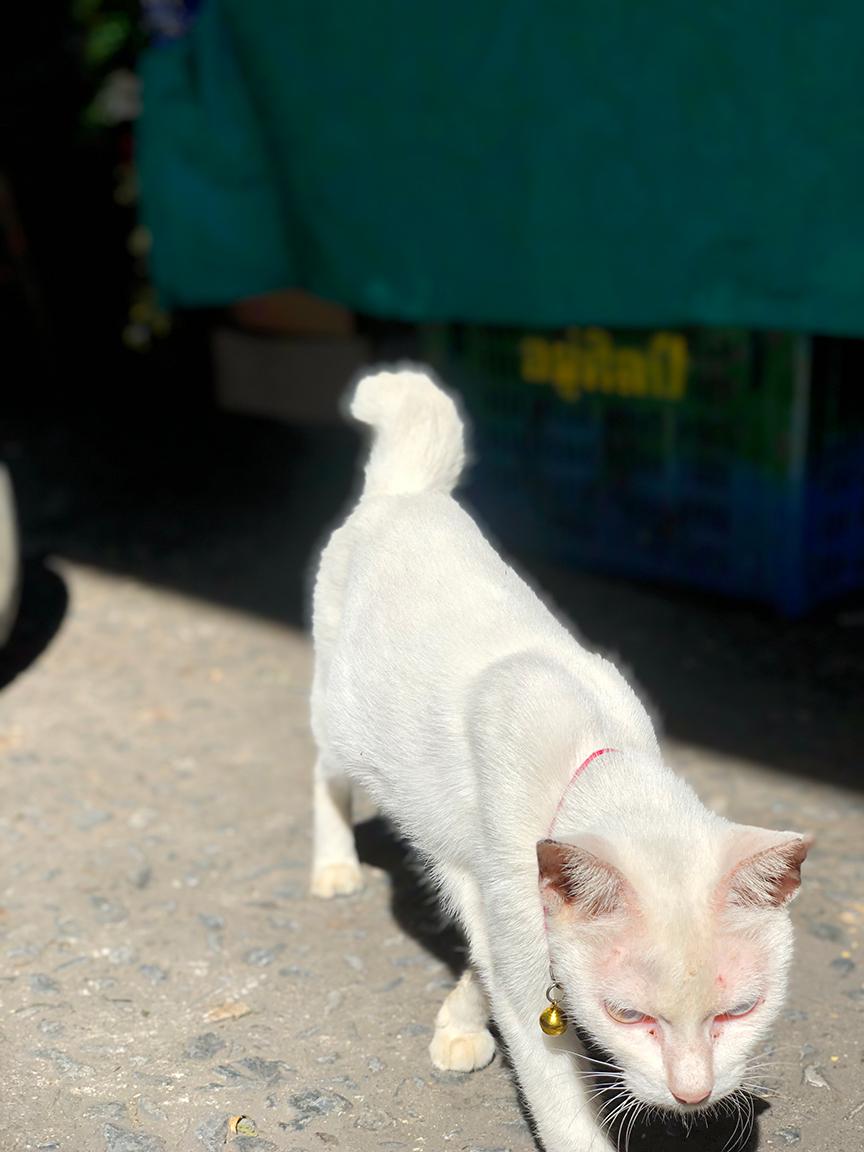 แมวขาวมณีขี้เล่นขี้อ้อน