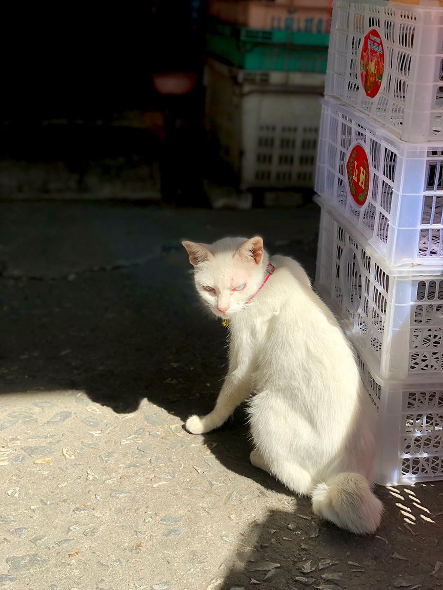 แมวขาวมณีน่ารักเชื่องมาก