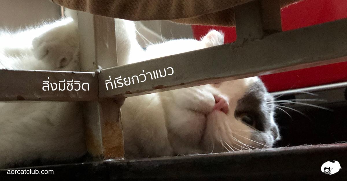 ประสาทสัมผัสของแมว