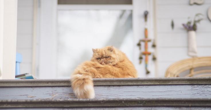แมวพันธุ์ที่เสี่ยงเป็นฮีทสโตรก