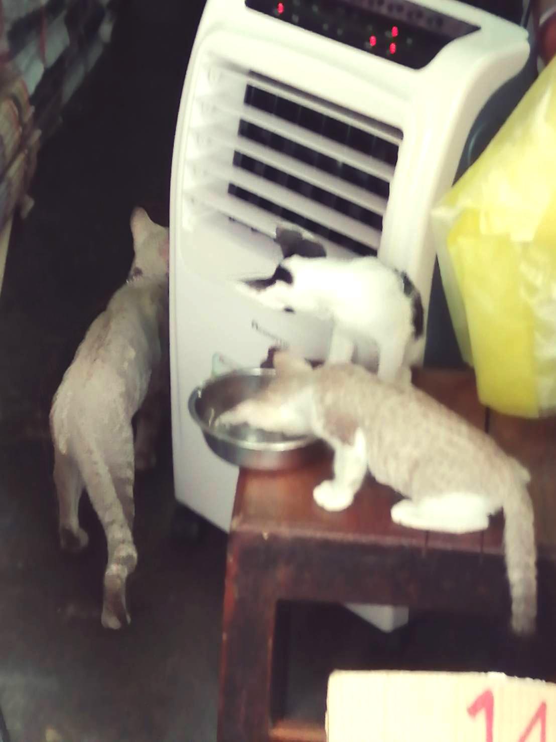 แมวร้อนทำไง