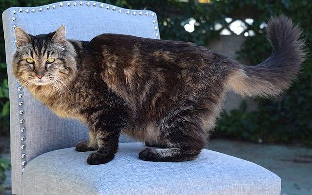 Corduroy แมวพันธุ์ผสมเมนคูนที่อายุยืนที่สุดในโลก