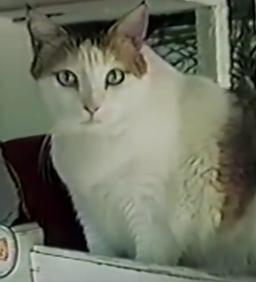แมวที่อายุยืนที่สุดในโลก มีอายุถึง 38 ปี