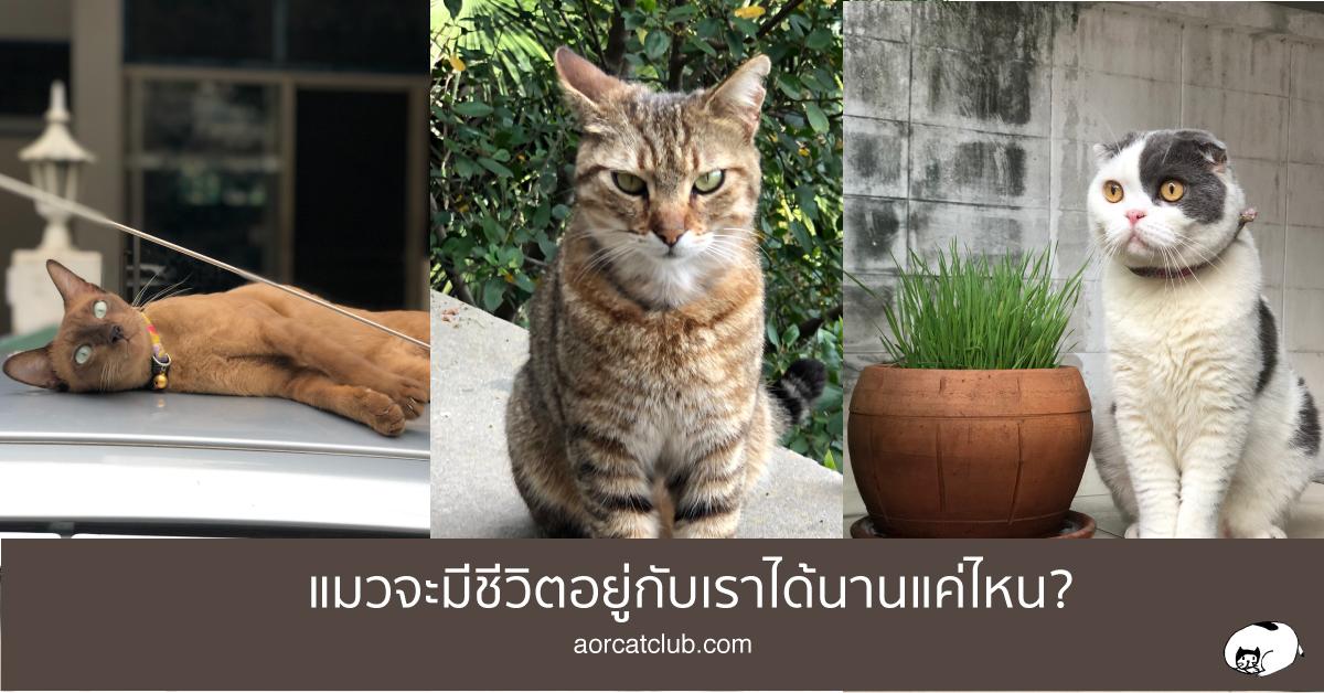 อายุชีวิตของแมว