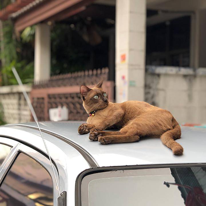 แมวพันธุ์ผสมอายุยืนกว่าแมวพันธุ์แท้