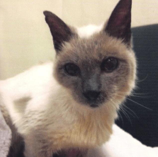 แมวไทยอายุยืนที่สุดในโลก 30 ปี