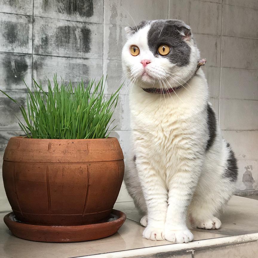แมวชอบต้นอ่อนข้าวสาลี นิ่ม กินง่าย ประโยชน์เยอะ