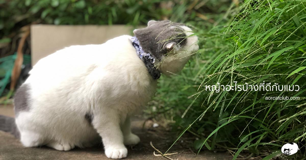 หญ้าแมวแบบไหนดีที่สุด