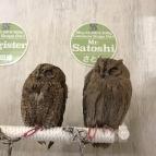นกฮูกพันธุ์เล็กในคาเฟ่นกฮูกในโตเกียว