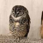 Akiba-Fukurou-Owl-café12_aorcatclub-