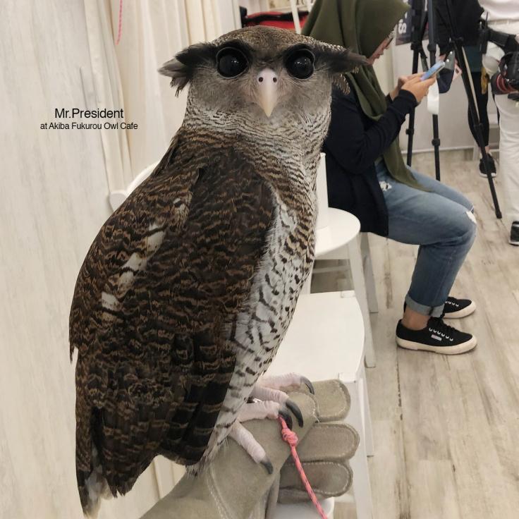 Akiba-Fukurou-Owl-café3_aorcatclub-