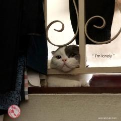 แมวเหงา_โกเมสแมวคุณชาย_aorcatclub