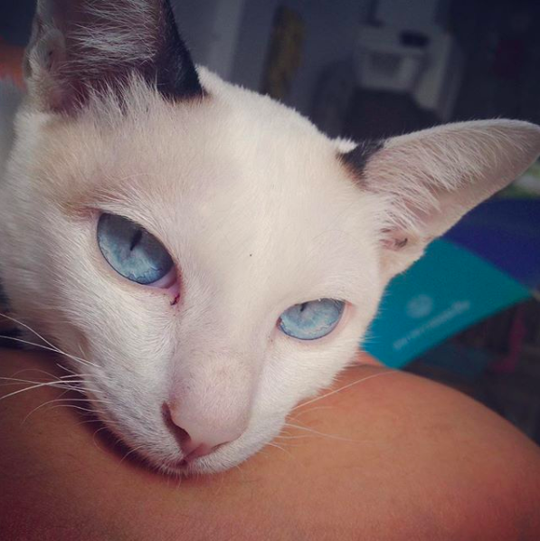 แมวเป็นลิวคีเมีย