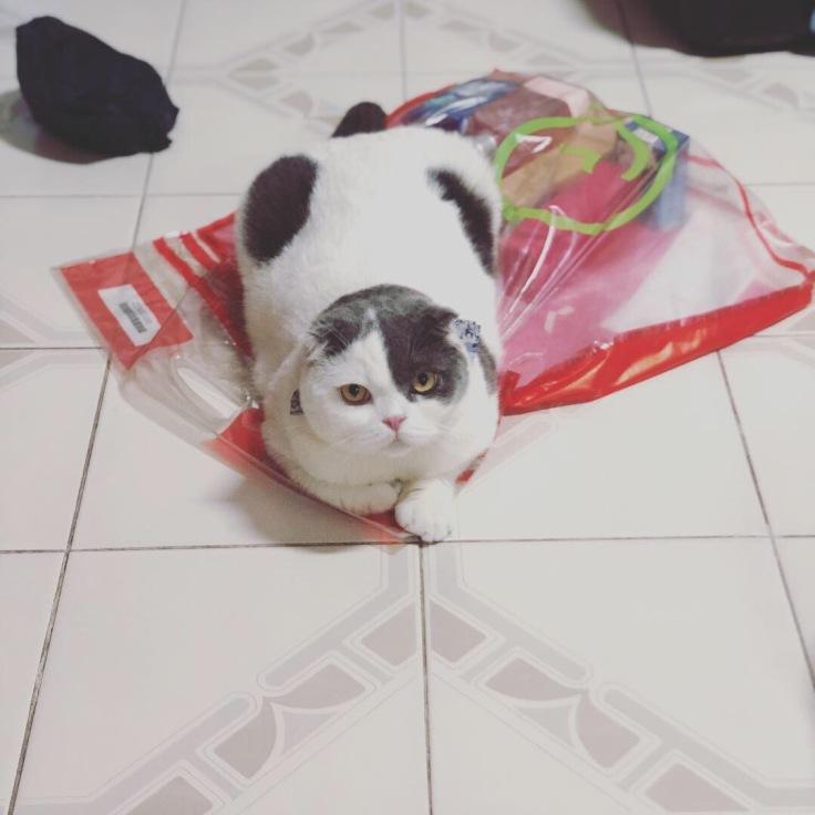 แมวเล่นคนเดียว