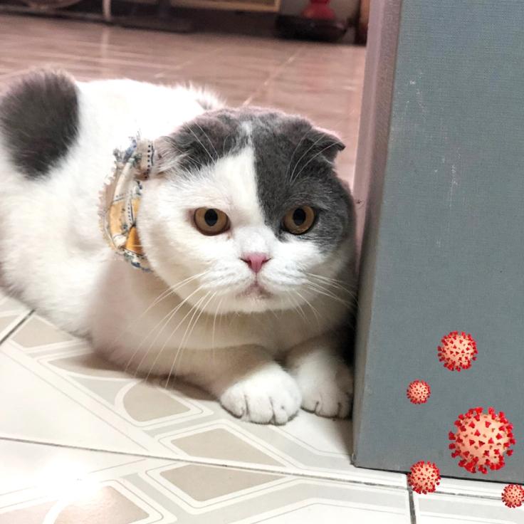 แมวกับโควิด19