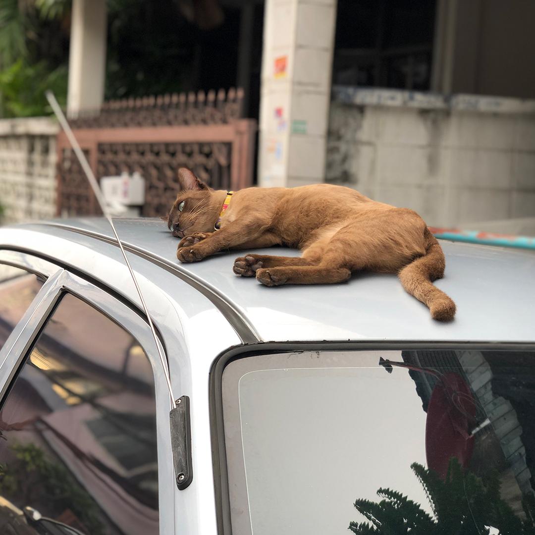 แมวนอนบนหลังคารถ
