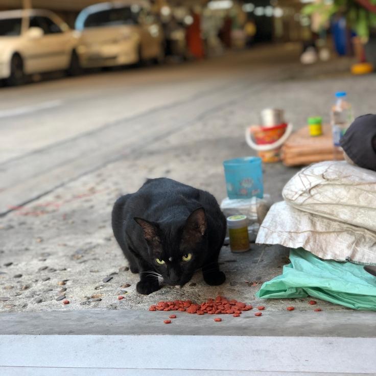 ให้อาหารแมววัด