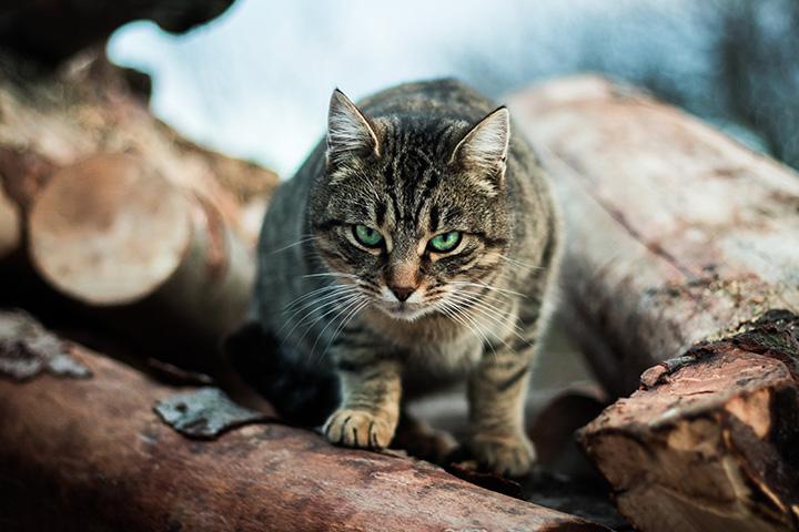 แมวลายสลิดเหมือนแมวป่า