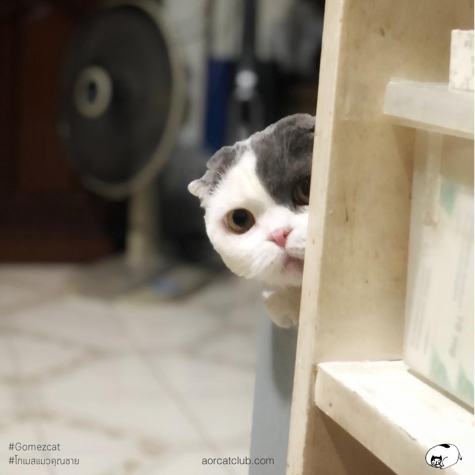 แมวแอบมอง