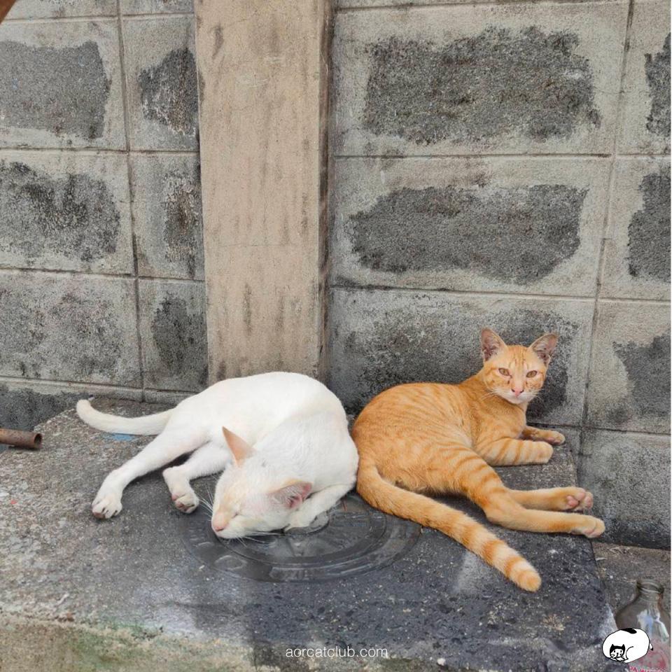 แมวอยากได้ความรัก