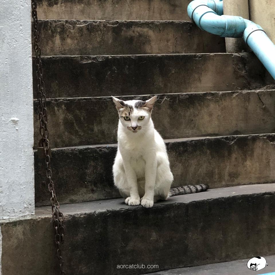 แมวจรเชื่องมาก