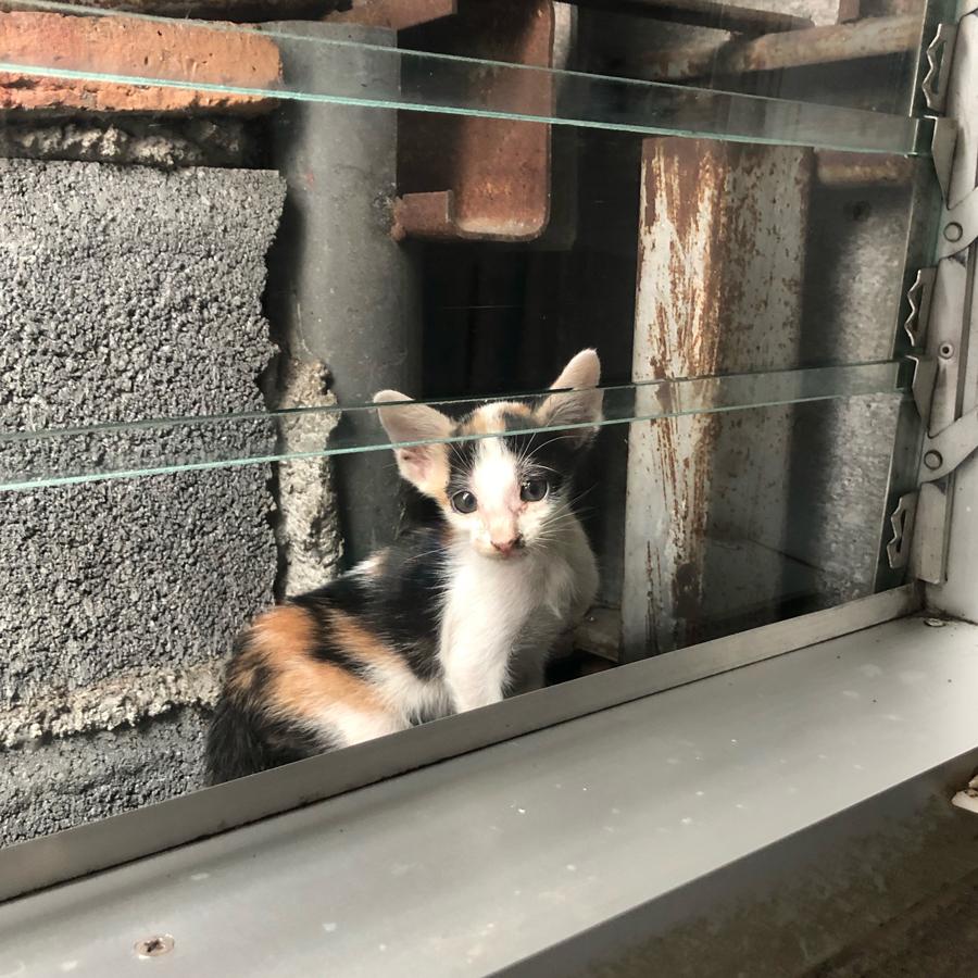 แมวสามสี