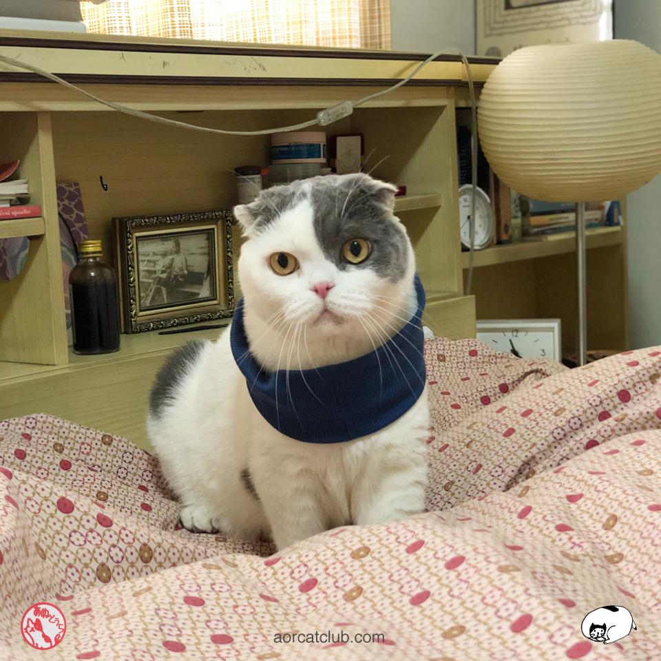 แมวสก็อตติชโฟลด์ แมวหูพับ น่ารัก โกเมส แมวคุณชาย